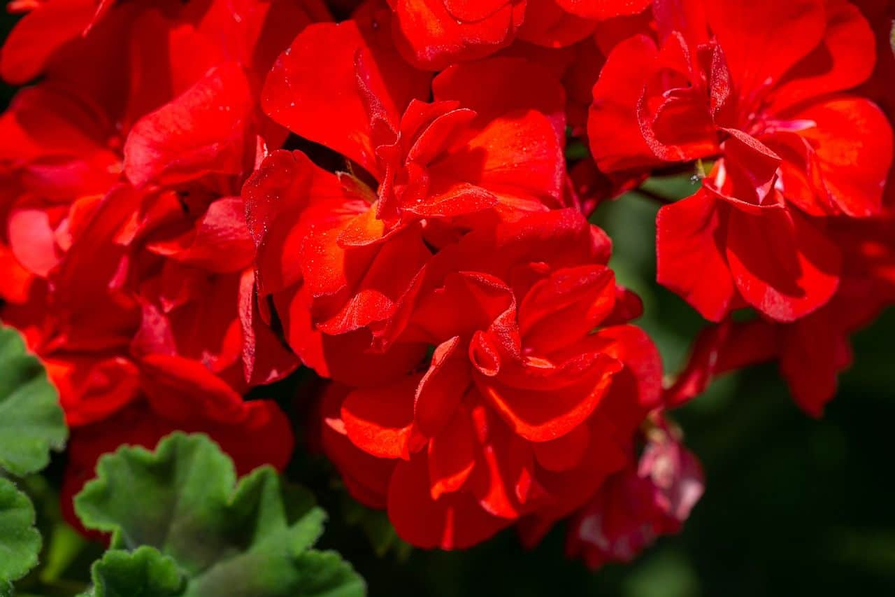 Rote Geranien
