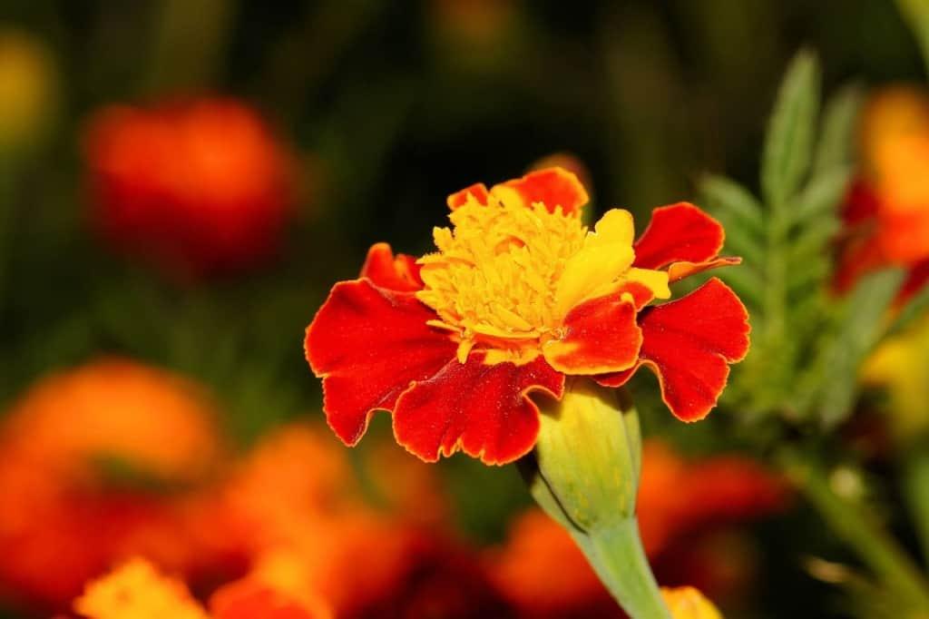 blühende Studentenblume