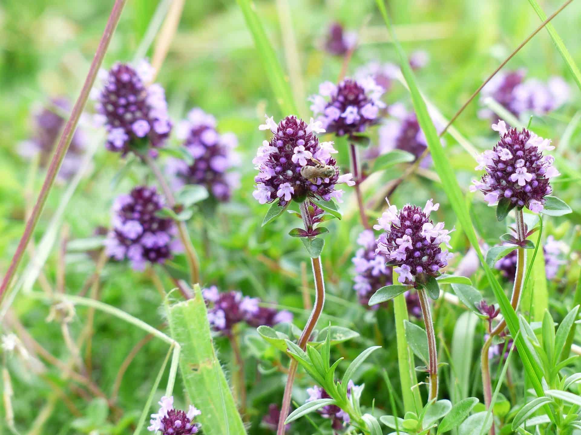Read more about the article Thymian: pflanzen, pflegen und ernten