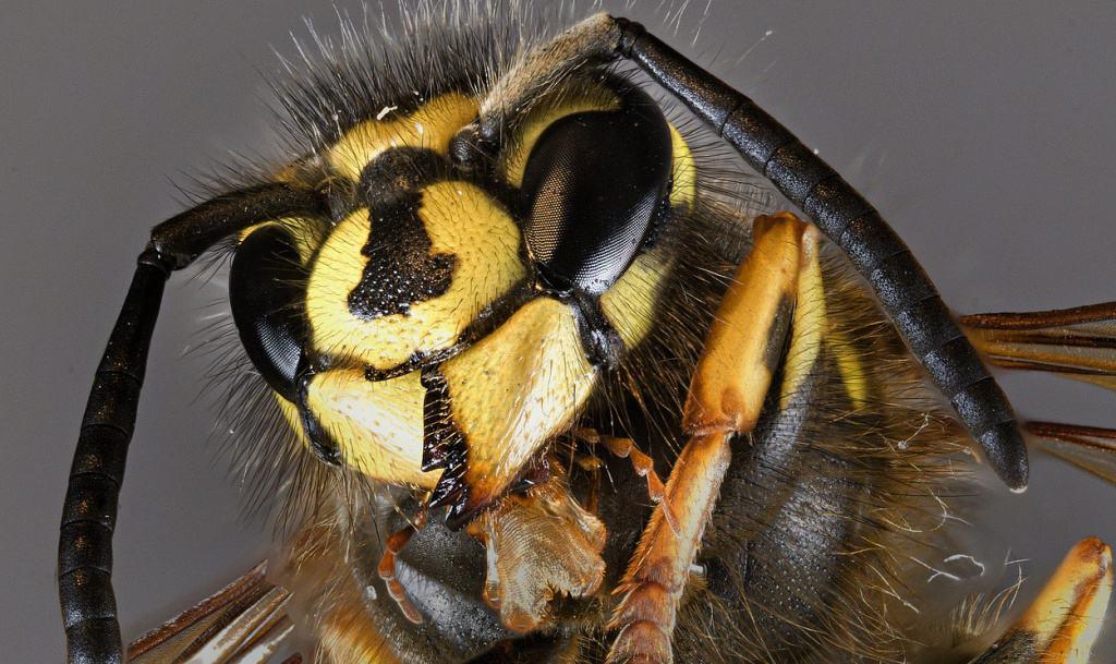 Eine Wespe in der Nahaufnahme