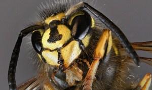 Wespenangriffe – die wichtigsten Verhaltensregeln