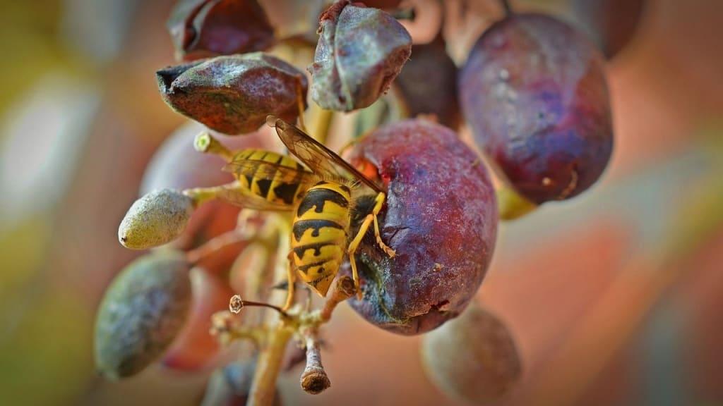 Eine Wespe stärkt sich an einer Weintraube