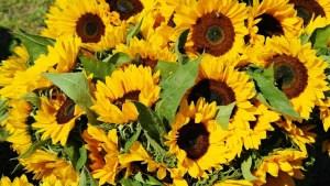 Die wichtigsten Pflegetipps rund um die Sonnenblume