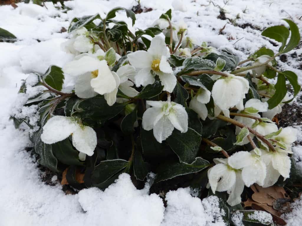 Christrosen im, Winter