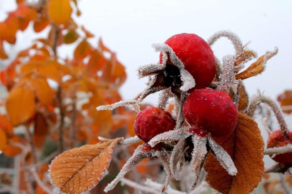 Rosenpflanze mit Hagebutten im Winter