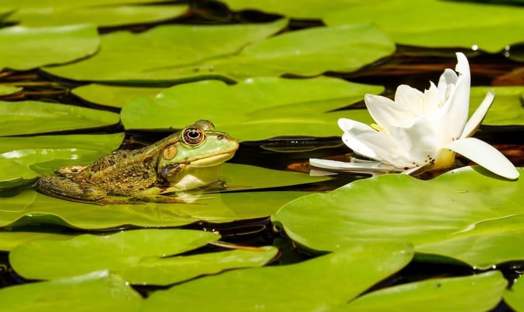 Gartenteich mit Frosch und Seerose