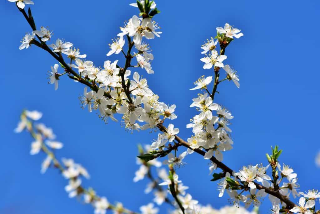 Blühender Pflaumenbaum