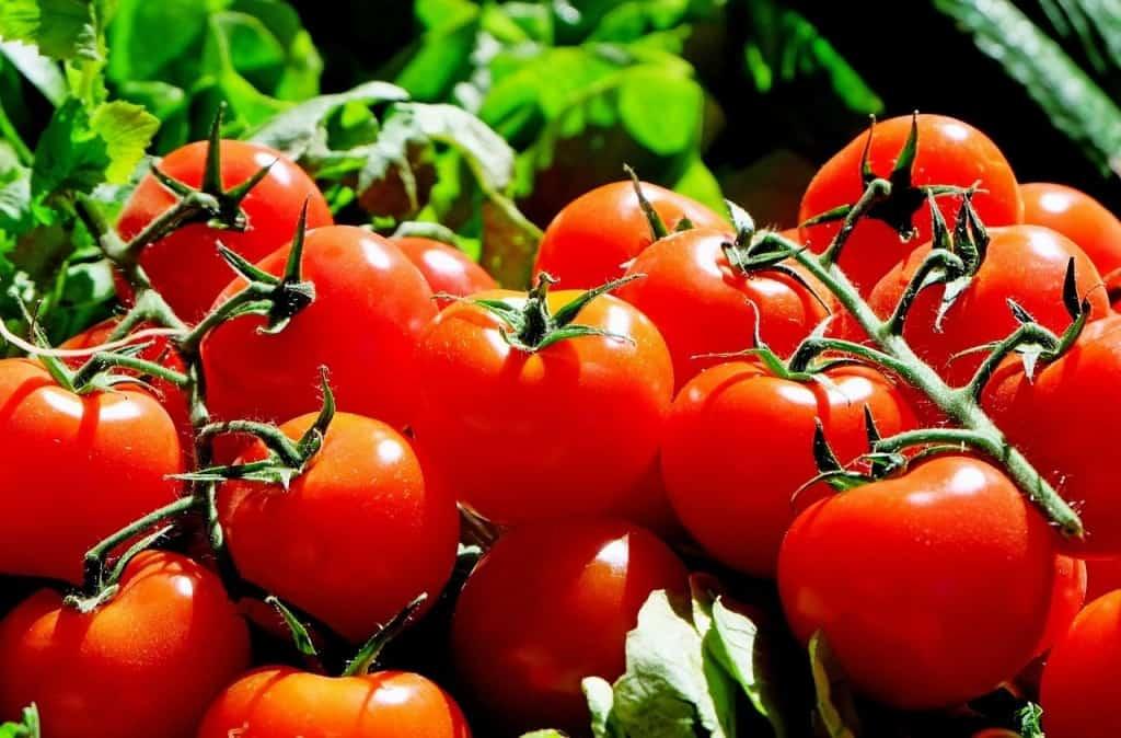 Erntefrische Tomaten