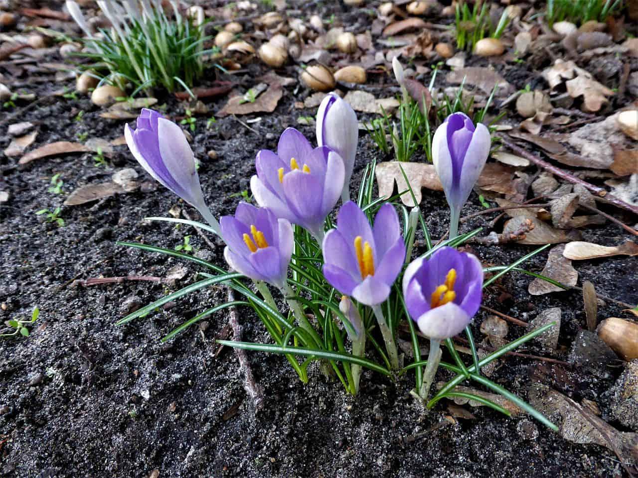 Frühlingserwachen mit dem Elfenkrokus