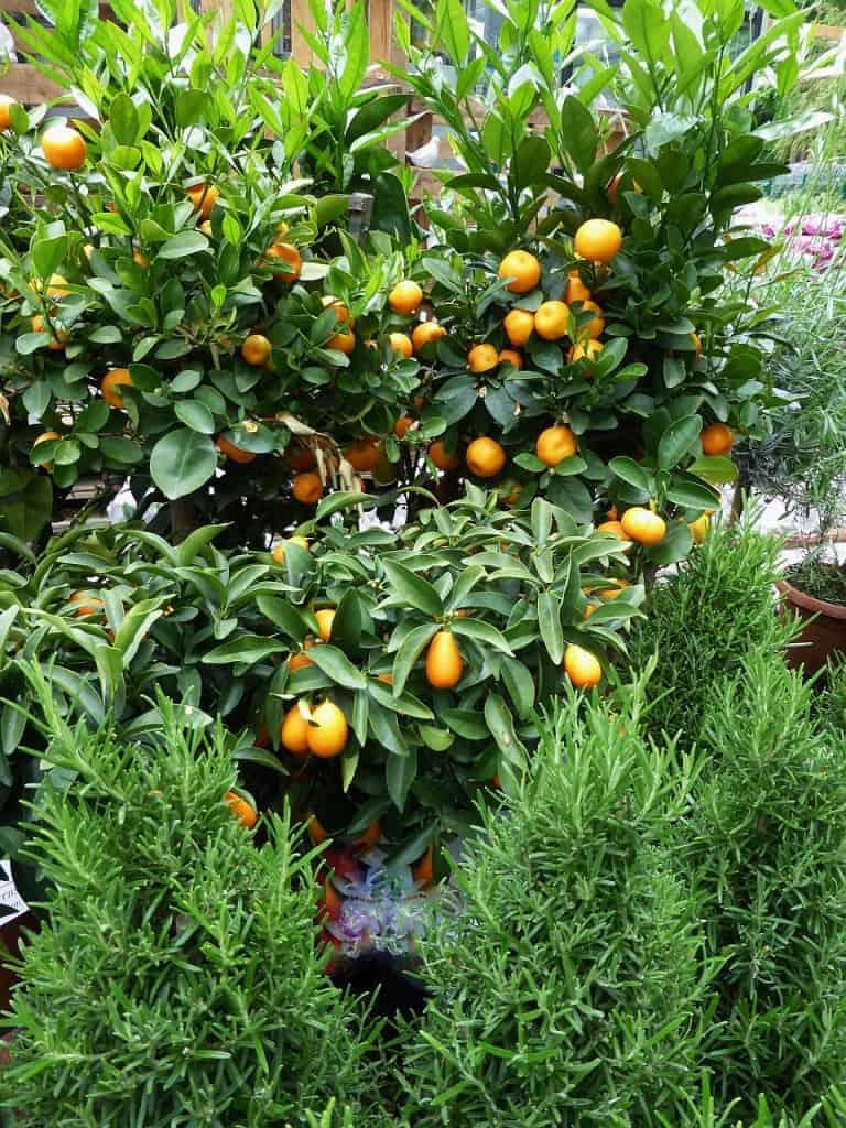 Zitrusfrüchte am Strauch