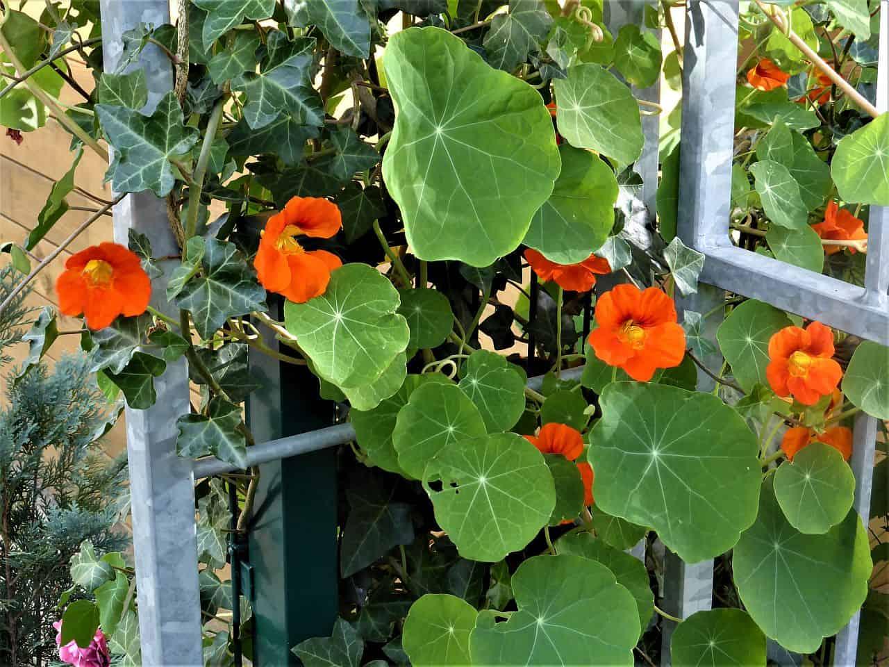 Einjährige Kletterpflanzen im Garten anpflanzen