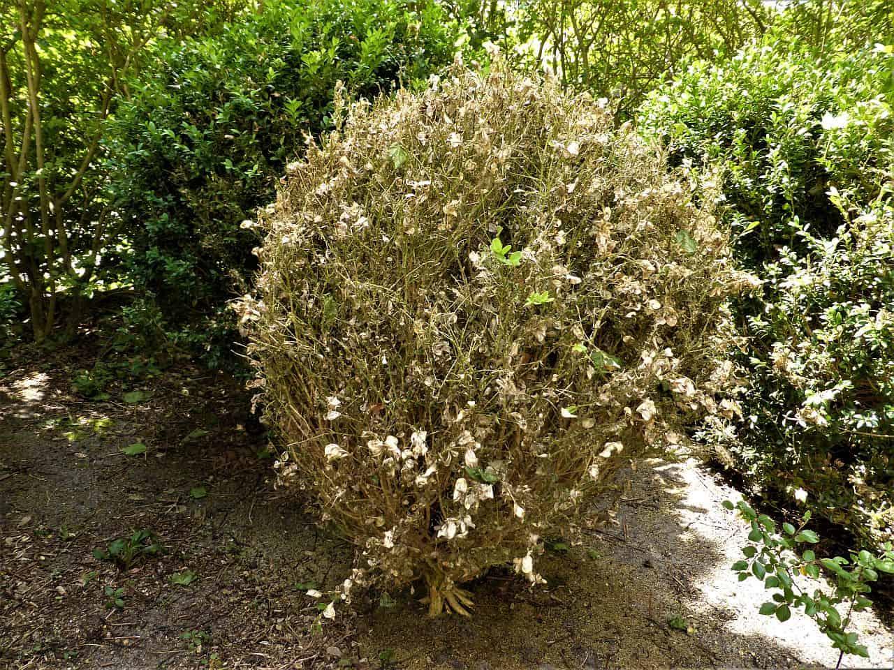Ein vom Zünsler geschädigter Buchsbaum