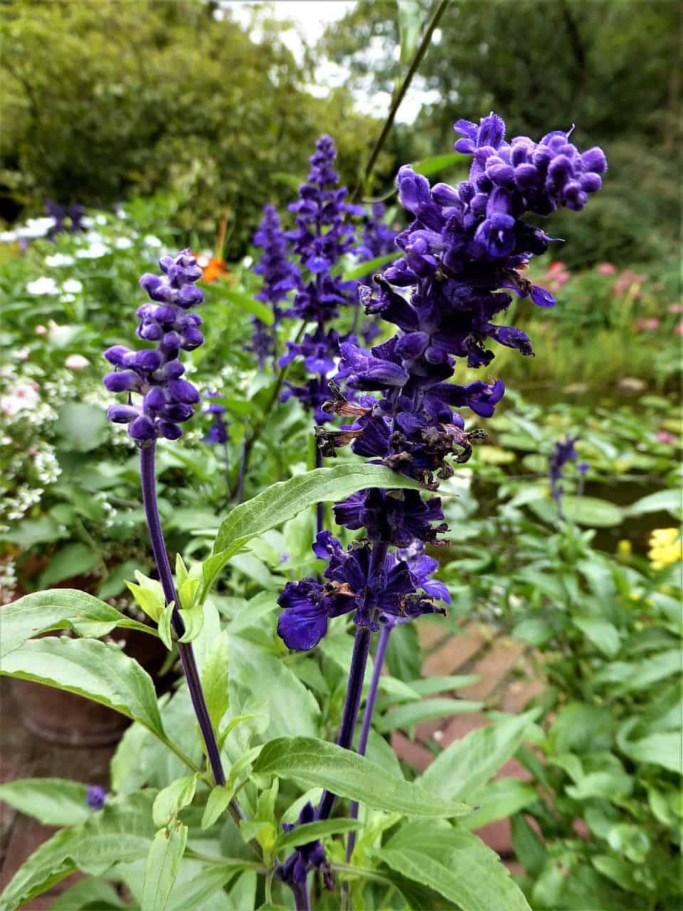 Blühender Salbei (Salvia patens)