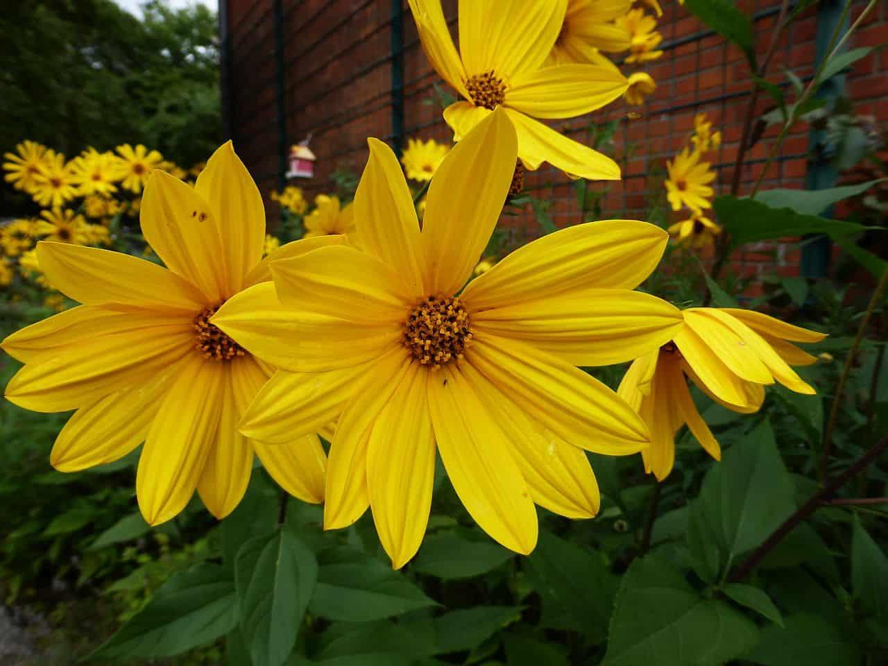 Gelbe Blüten der Topinambur-Pflanze
