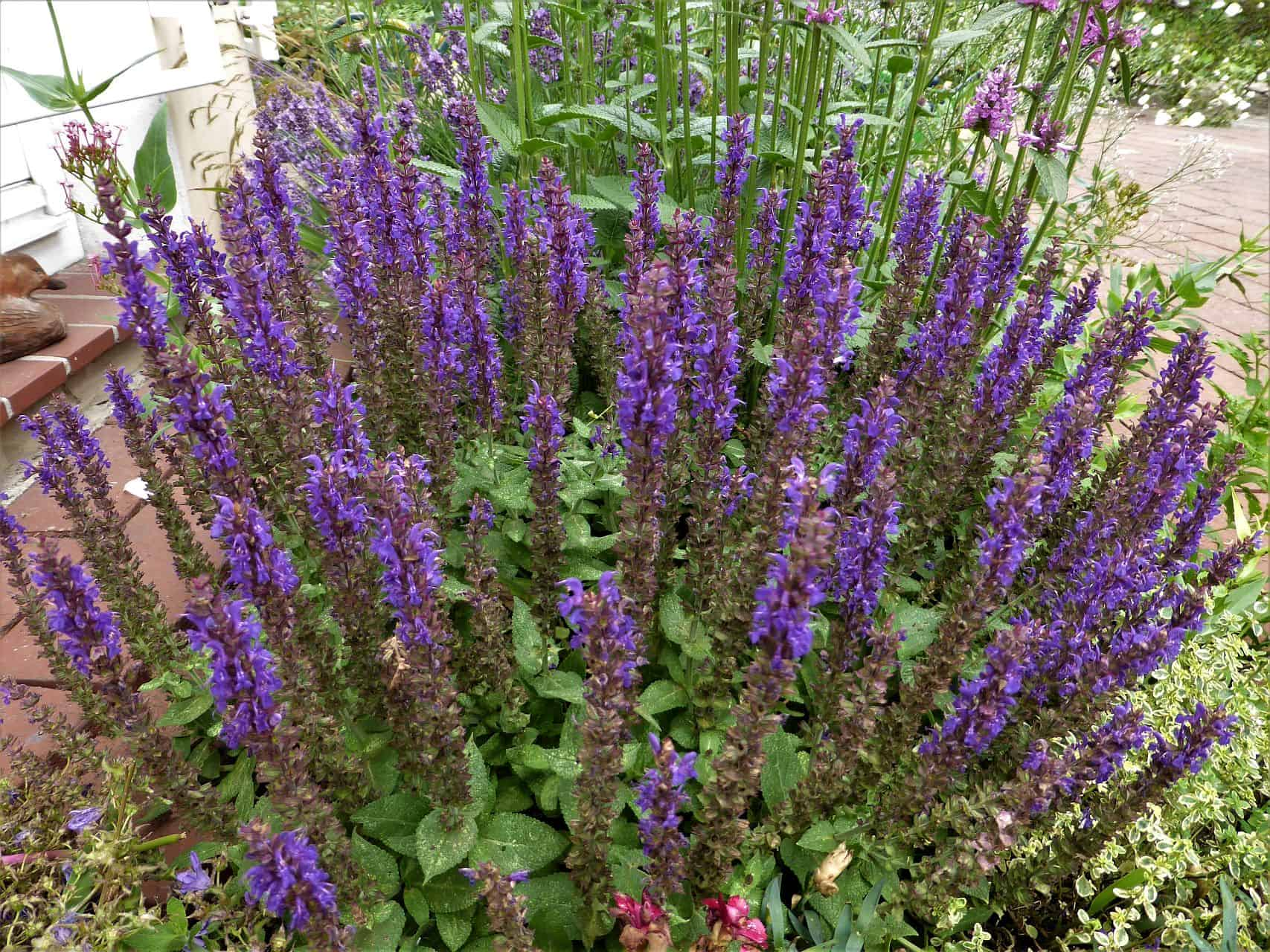 Violetter Ziersalbei