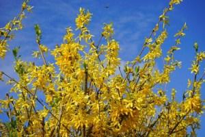 Gelbe Blütenpracht mit der Forsythie