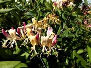 Geißblatt, Jelängerjelieber und Heckenkirsche pflanzen und pflegen