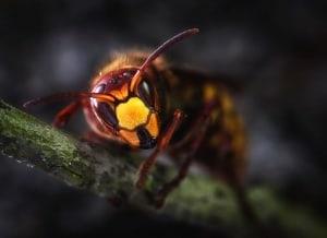 Hornissen vertreiben durch natürliche Wirkstoffe