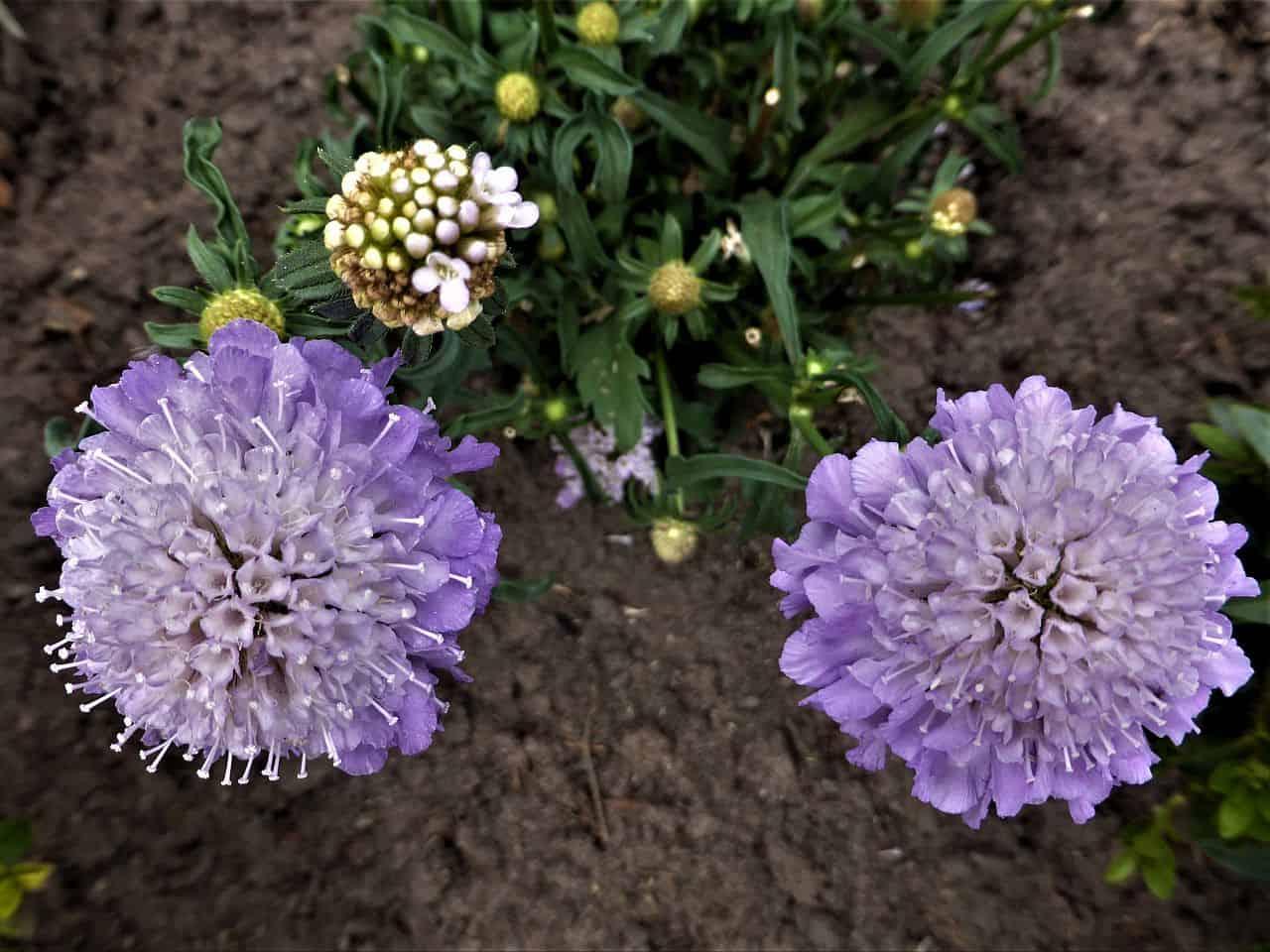 Kaukasische Skabiosen in Violett