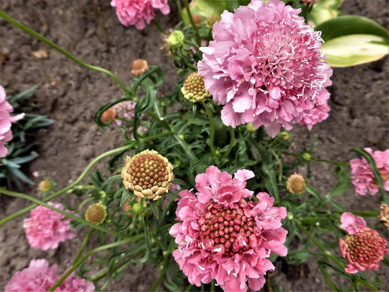 Kaukasische Skabiose in rosa