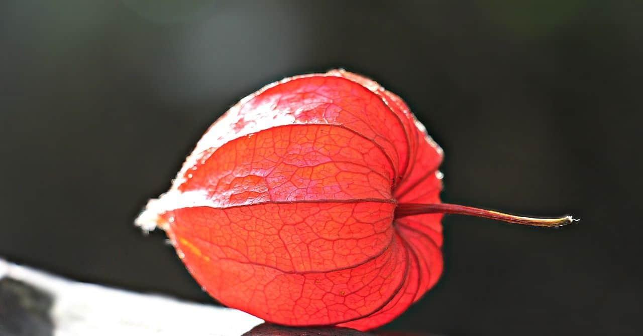 Die Lampionblume – Anbau und Pflege der dekorativen Zierpflanze