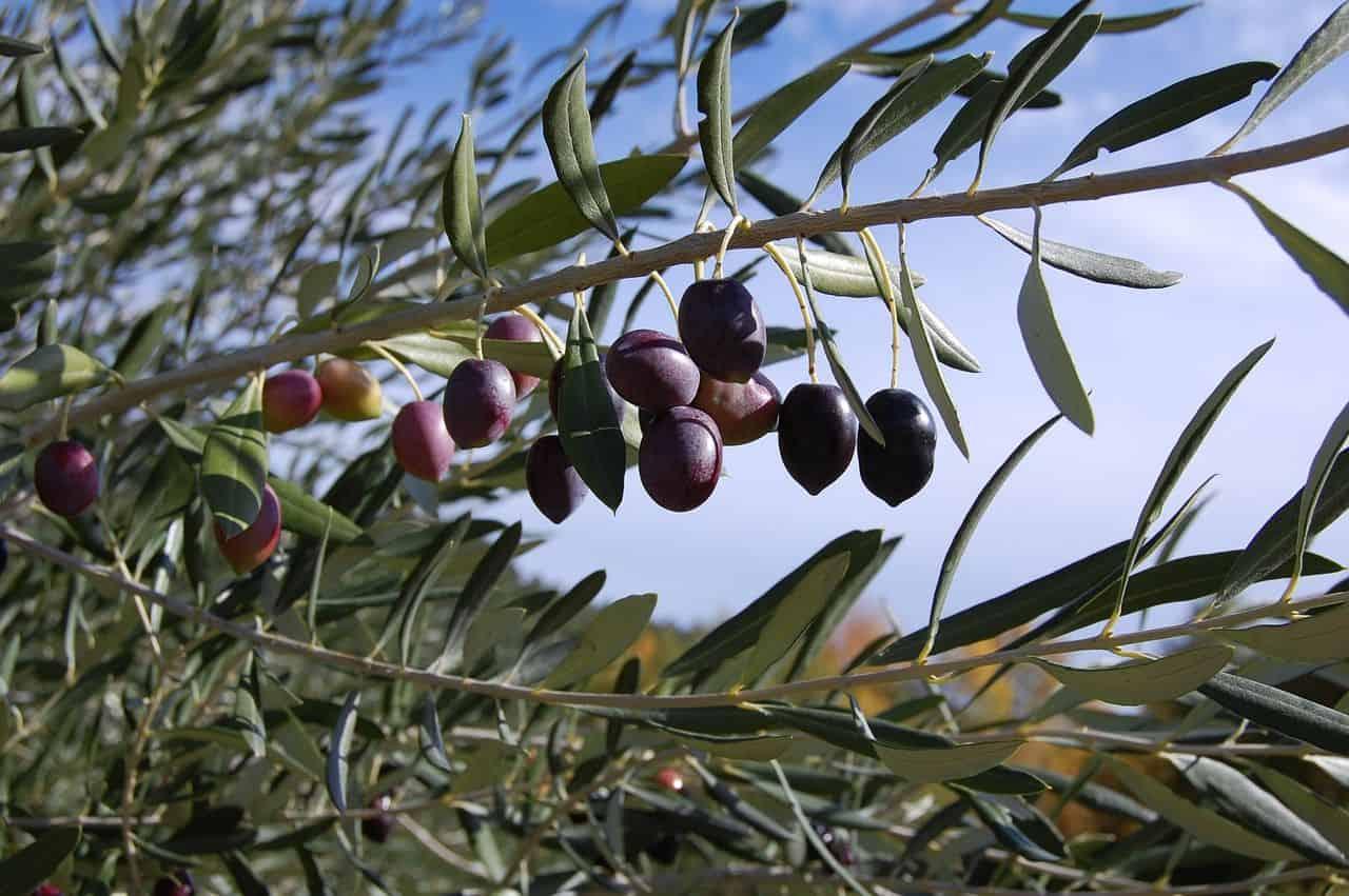 Erntefrische Oliven