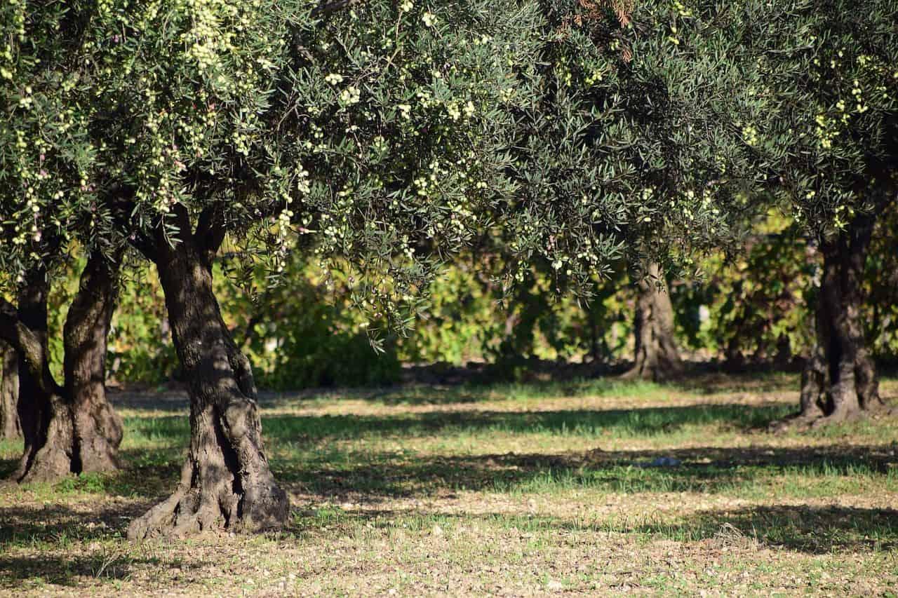 Olivenbäumchen