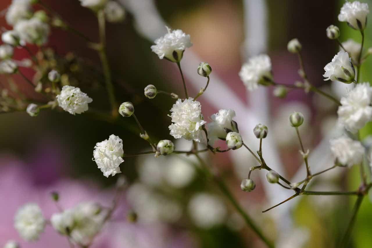 Blühendes Schleierkraut