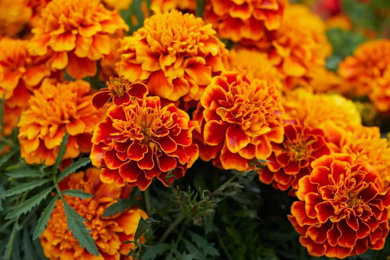 Die Studentenblume – Anpflanzung und Pflege