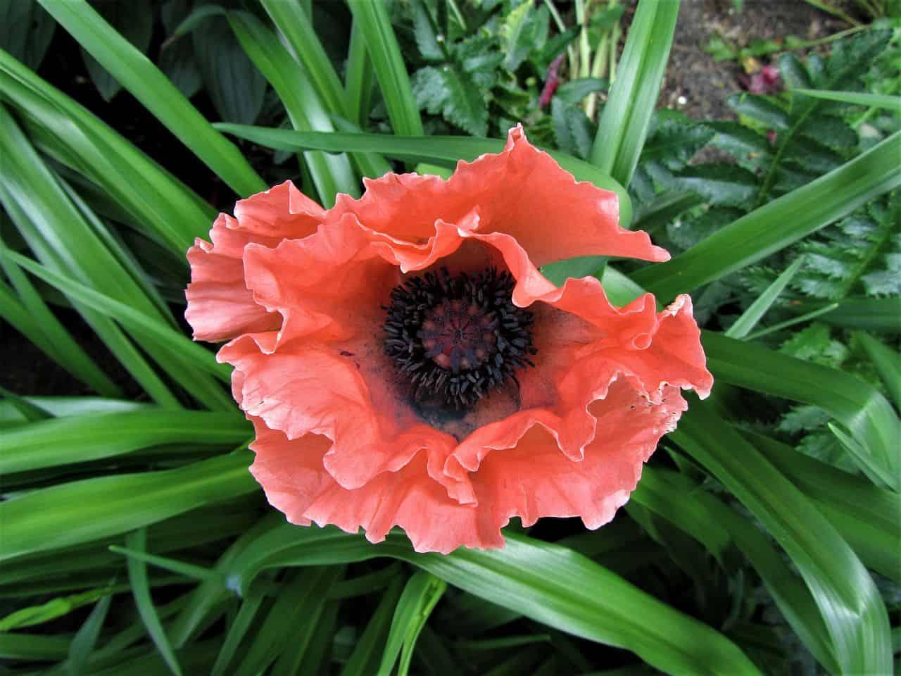 Eine rote Türkenmohnblüte