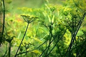 Anis im Garten anbauen, pflegen und ernten