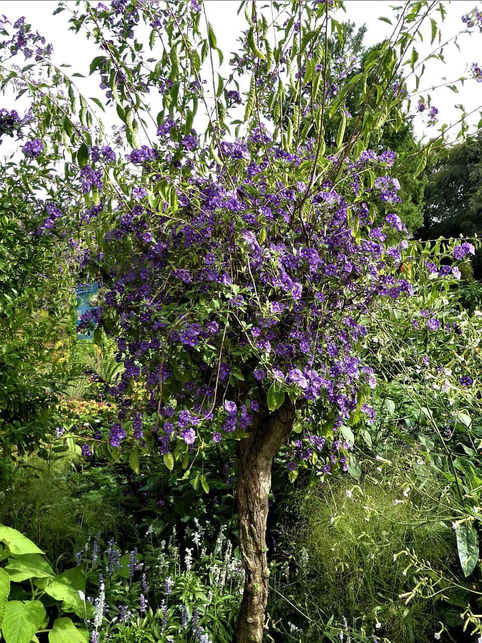 Blauer Kartoffelbaum