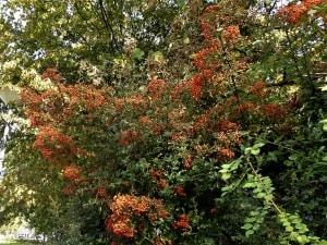 Beerenschmuck im Herbst – essbar und nicht essbar