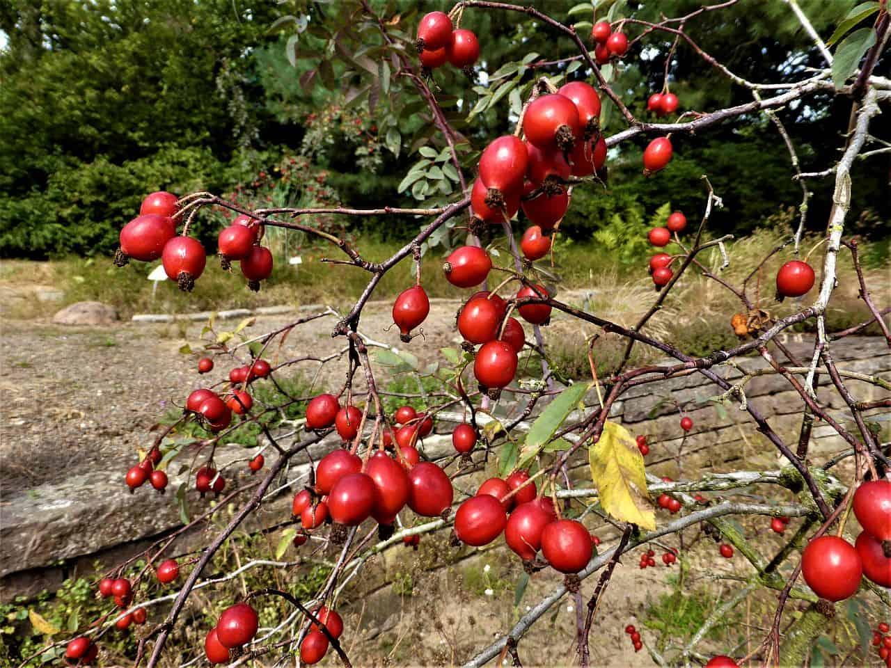 Hagebutten – die Früchte der Rosen