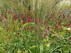 Teppich- und Kerzenknöterich – schöne Stauden für den eigenen Garten
