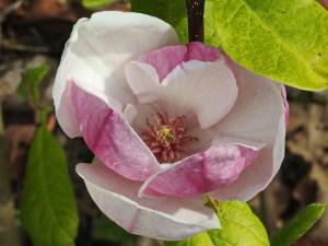 Magnolien für kleine Gärten