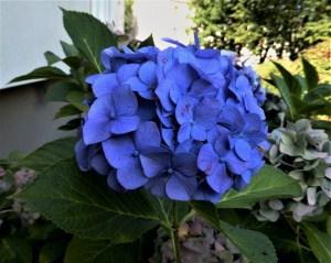 Hortensien – der richtige Schnitt