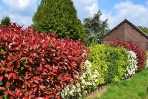 Der blühende Sichtschutz – in wenigen Schritten zur farbenfrohen Blütenhecke