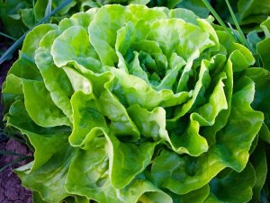 Kopfsalat im eigenen Garten anbauen