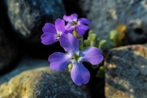 Levkojen – Blumen mit nostalgischem Charme