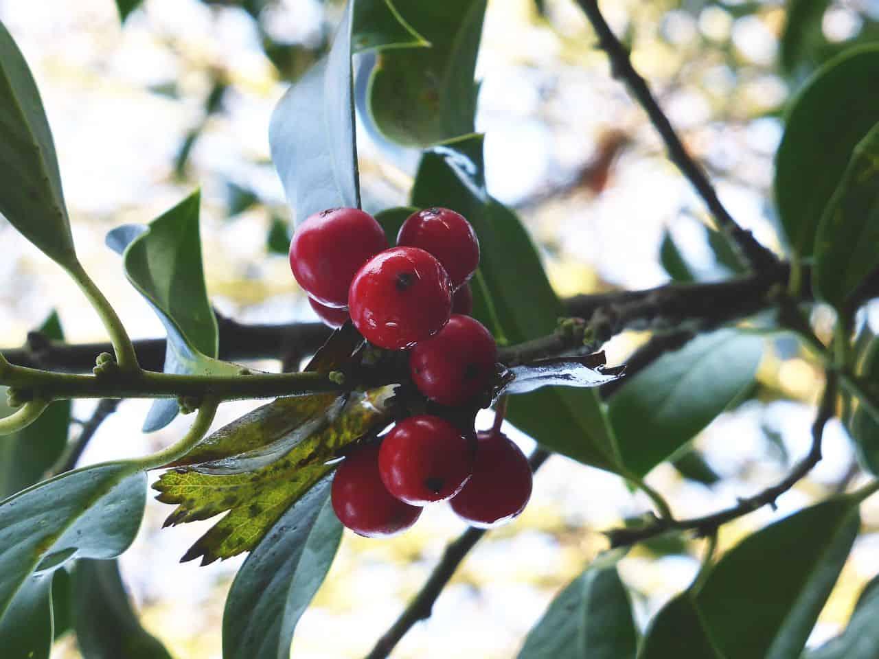 Früchte der Stechpalme (Ilex)