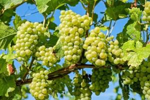 Weintrauben – pur oder als Wein ein Genuss
