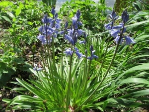 Blaue kleine Zwiebelblumen für den Frühling