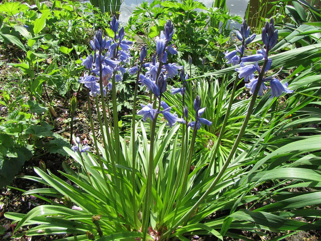 Blaue Bluebells im Beet