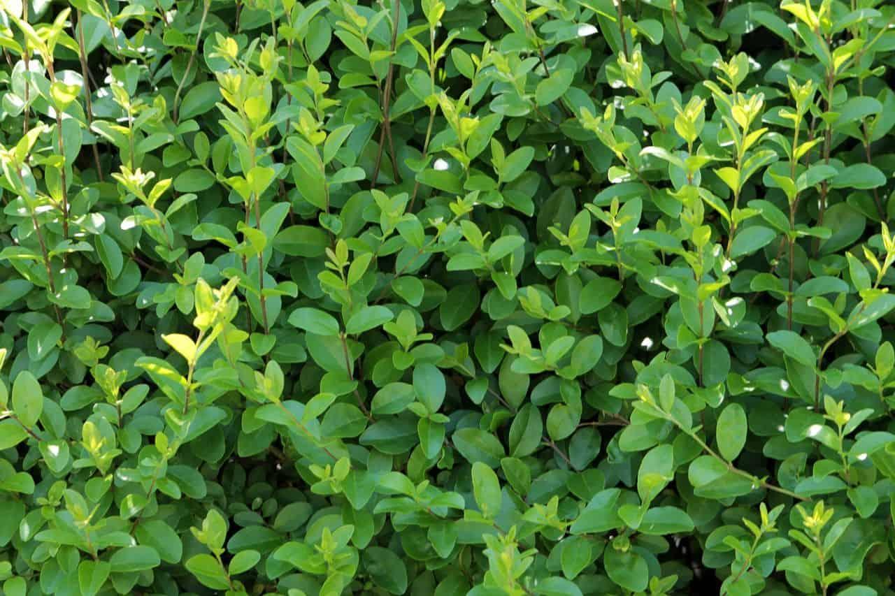 Eine Ligusterhecke anpflanzen und pflegen