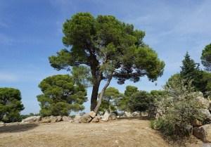 Pinien – Nadelbäume mit magischen Zapfen