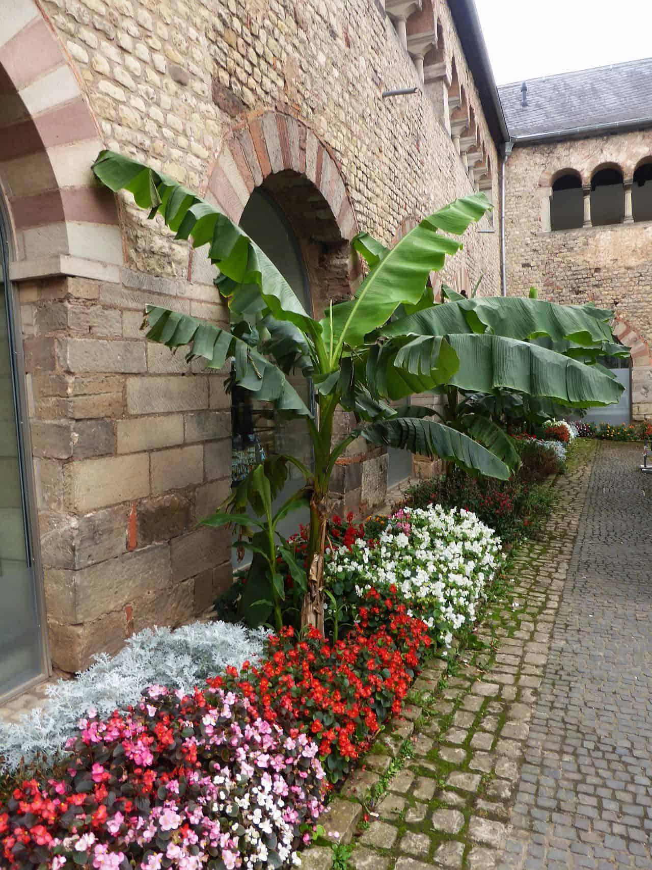 Eine Bananenstaude im Freien