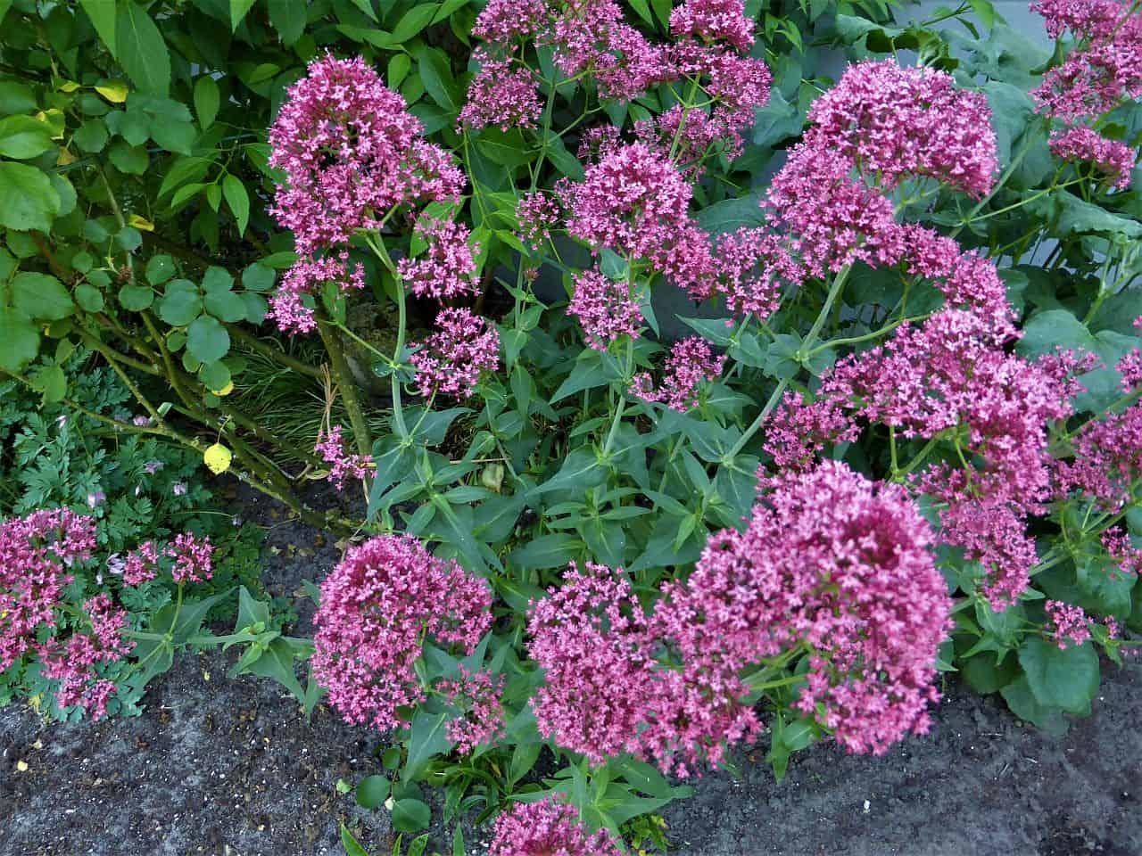 Lilafarbene Spornblume
