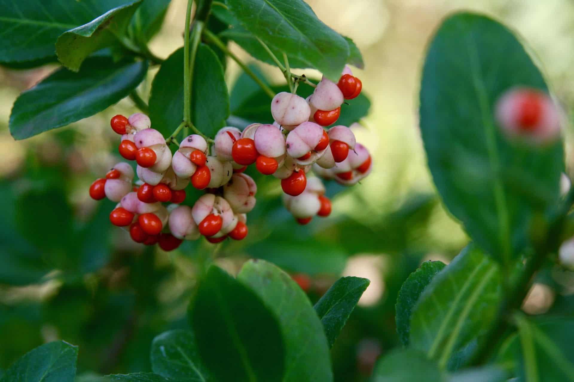 Beeren des Pfaffenhütchens