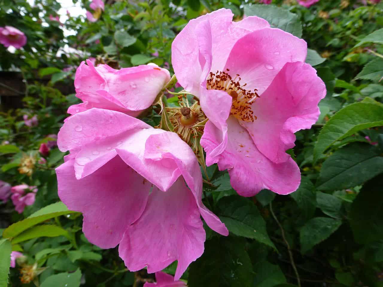 Wilde Rosen im Garten